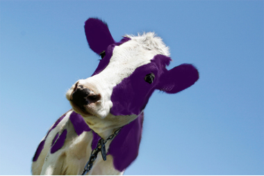 purple cow pic